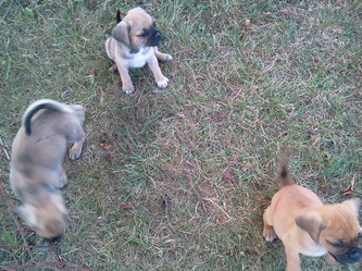 PUGGLES! - Welcome to Wallace Farms